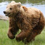 خرس قهوهای در میانه، پیرمردی را کشت