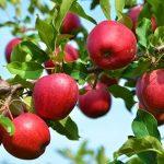 زردی چهره باغداران از نبود مشتری برای سیب سرخ اهر: به نام باغداران، به کام دلالان!